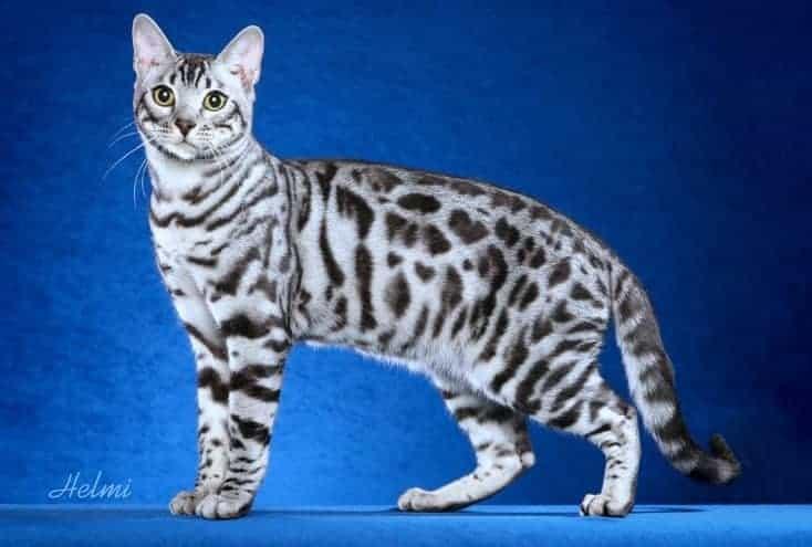 gatto bengala bianco