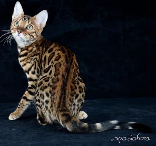 gatto Bengala ipoallergenico