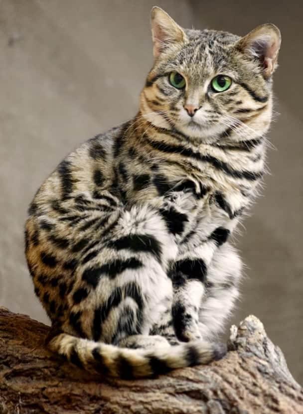 gatto delle pampas