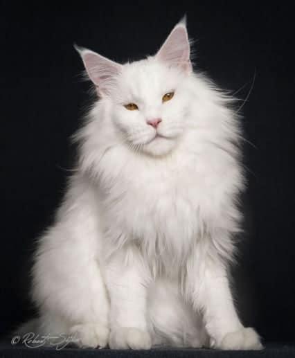 gatto maine coon bianco