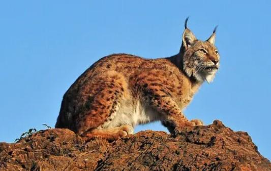 Lince rossa gatto selvatico americano