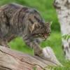 gatto selvatico felis silvestris foto immagini