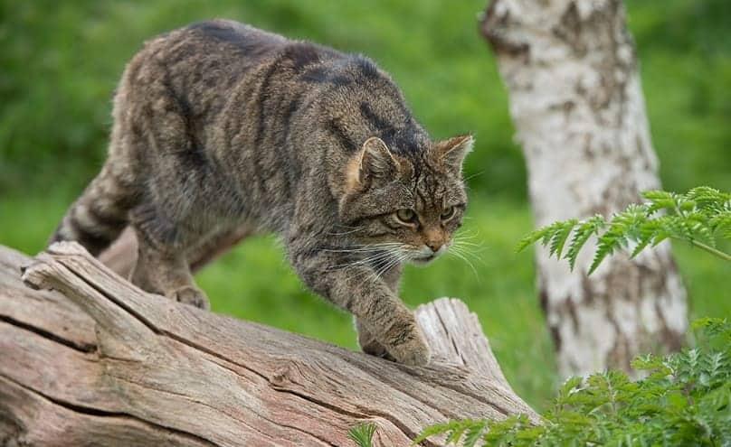 Il Gatto Selvatico Origini E Attualità Del Felis Silvestris Foto