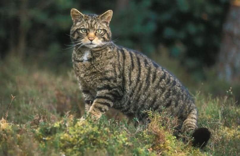 gatto selvatico sardo