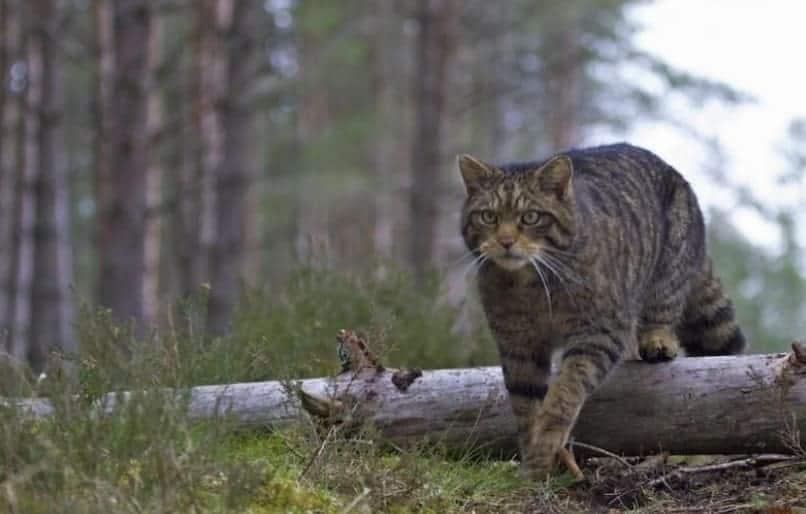 gatto selvatico scozzese