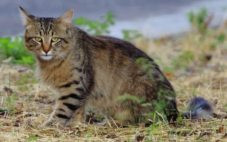 gatto selvatico siciliano gatto selvatico dell'etna