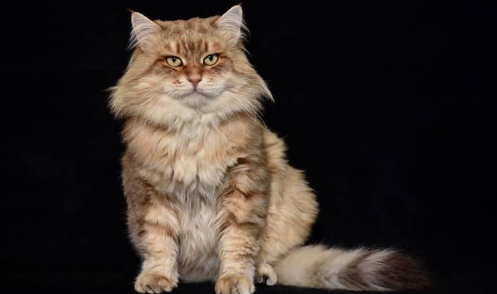gatto siberiano anallergico