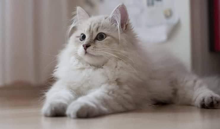 gatto siberiano bianco