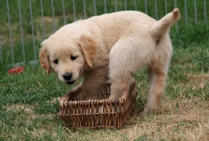golden retriever cucciolo