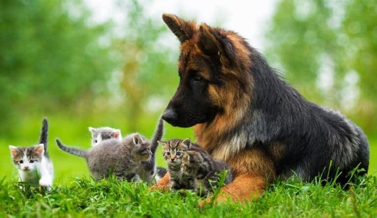 pastore tedesco e gatto
