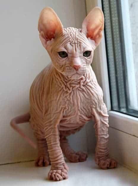 Kohona Kohana gatto hawaii senza pelo