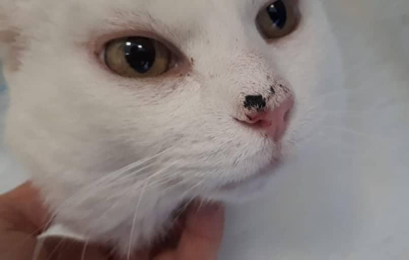 carcinoma squamocellulare gatto naso