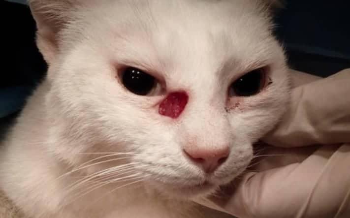 carcinoma squamocellulare gatto palpebre