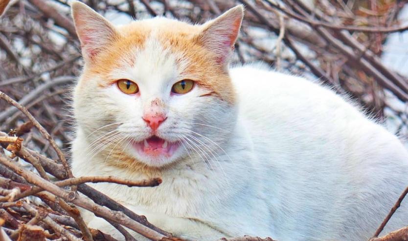 flehmen organo di Jacobson vomeronasale gatto