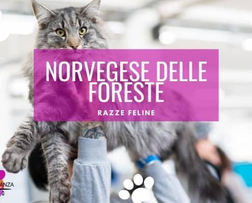 gatto norvegese delle foreste gatto delle foreste norvegesi