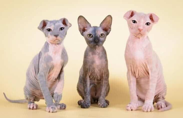 Levkoy ucraino gatto senza pelo