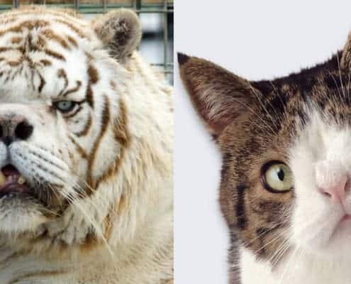 Gatto Down e tigre down chiarezza sugli animali con la sindrome di Down