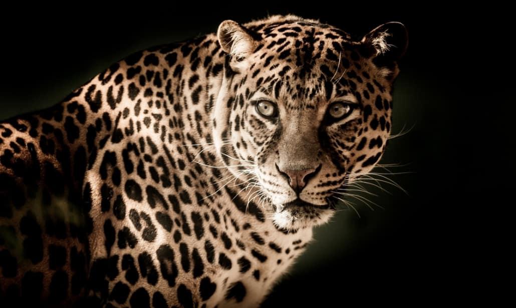 sognare un leopardo cosa significa