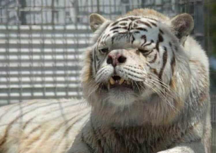 tigre down