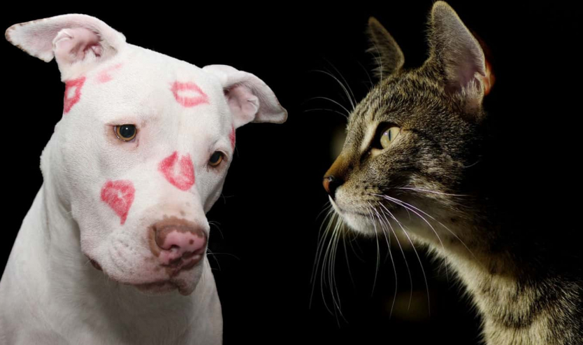 PitBull e gatti carattere e caratteristiche del Pit Bull