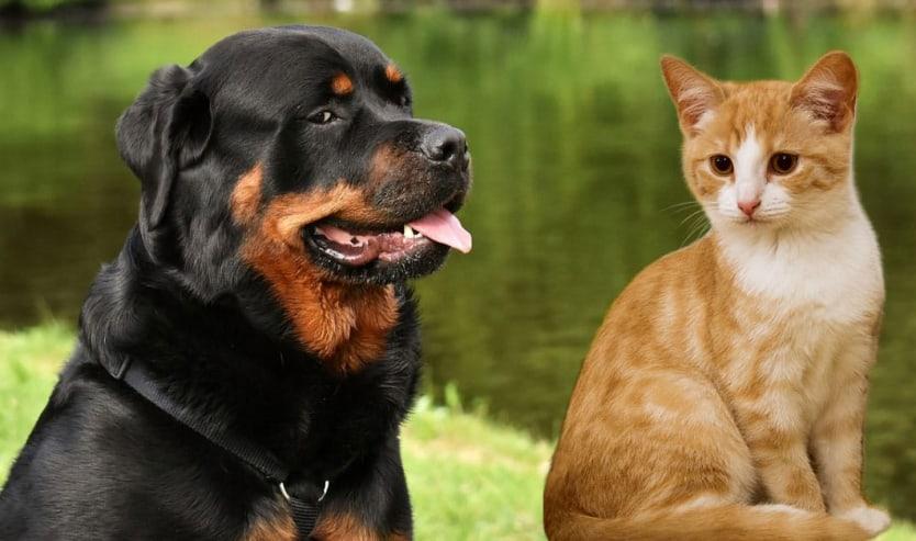 Rottweiler e gatti come gestire la convivenza