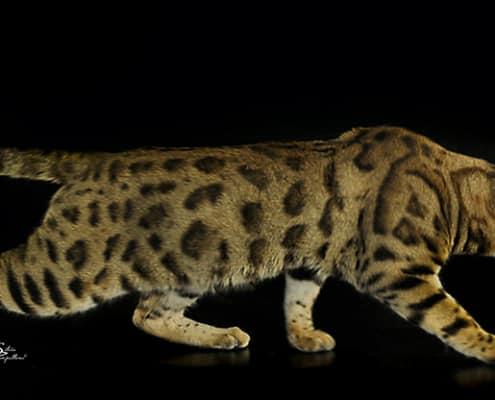 gatto Bengal rosette - Foto Silvia Pampallona
