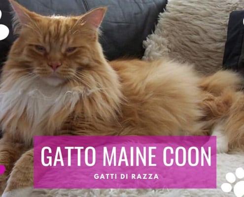 gatto maine coon caratteristihe aspetto carattere prezzo allevamento