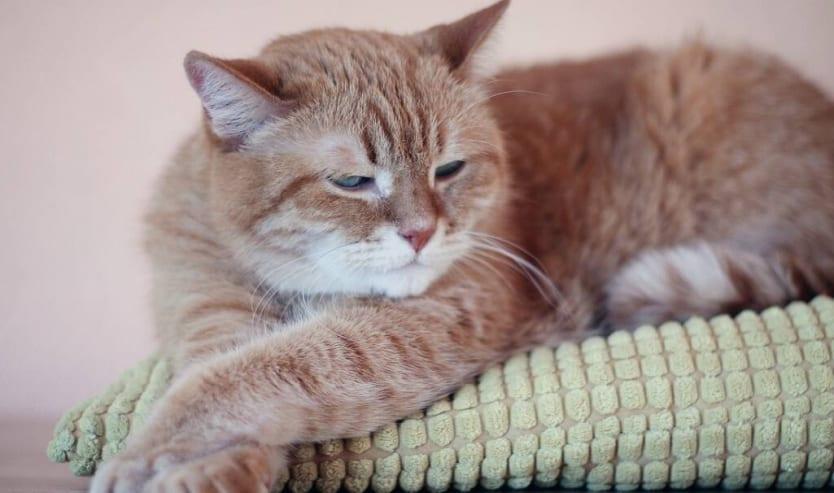 Forfora nel gatto cause, rimedi e come curarla