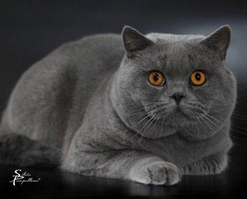 gatto british shortair