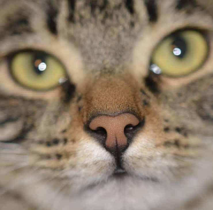 Muso di gatto Pulciosetto