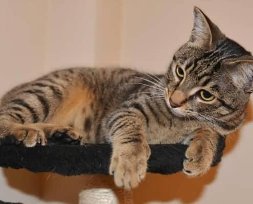 pulciosetto gatto senza coda