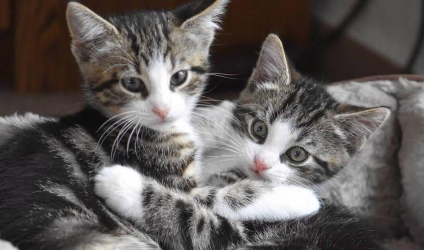 Come scegliere un cucciolo di gatto che cosa osservare