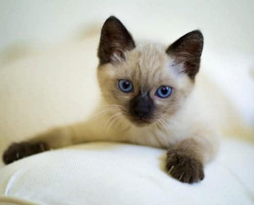 Comprare un gatto ecco cosa chiedere all'allevatore
