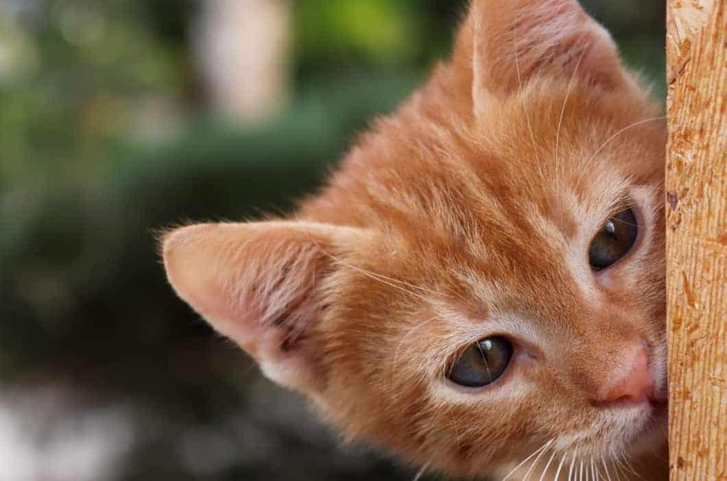 foto muso gatto rosso