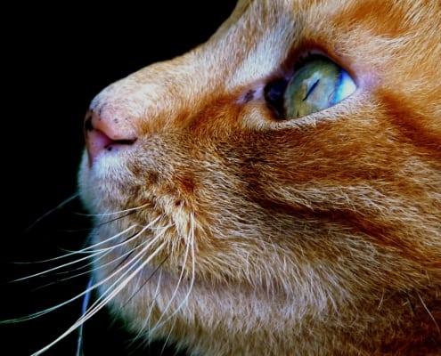 gatto arancione razza carattere maschio femmina nomi foto