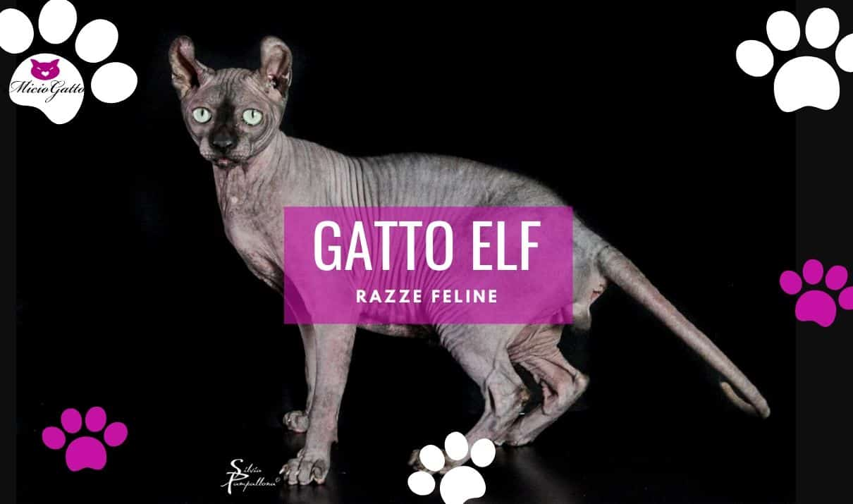 gatto elf cat