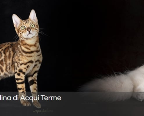 mostra felina internazionale acqui terme 2020