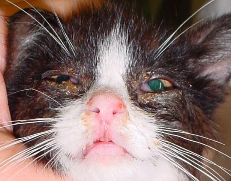 herpes virus gatto vaccino