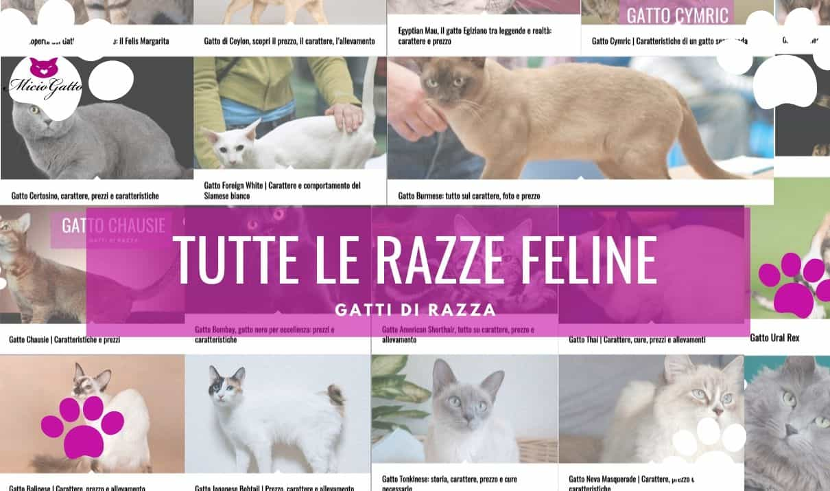 gatti di razza tutte le razze di gatti