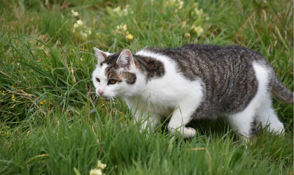 gatto caccia