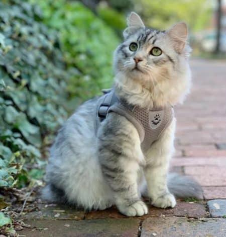 pettorina gatti