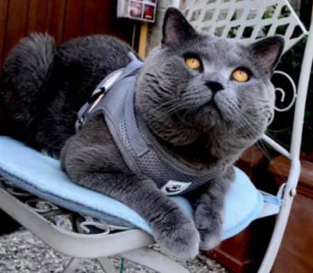 pettorina gatto
