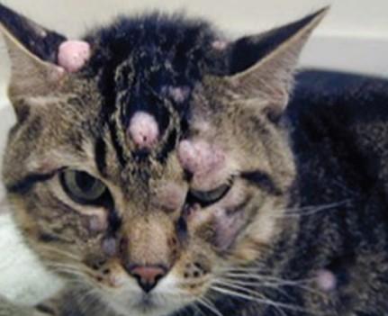 mastocitoma cutaneo gatto