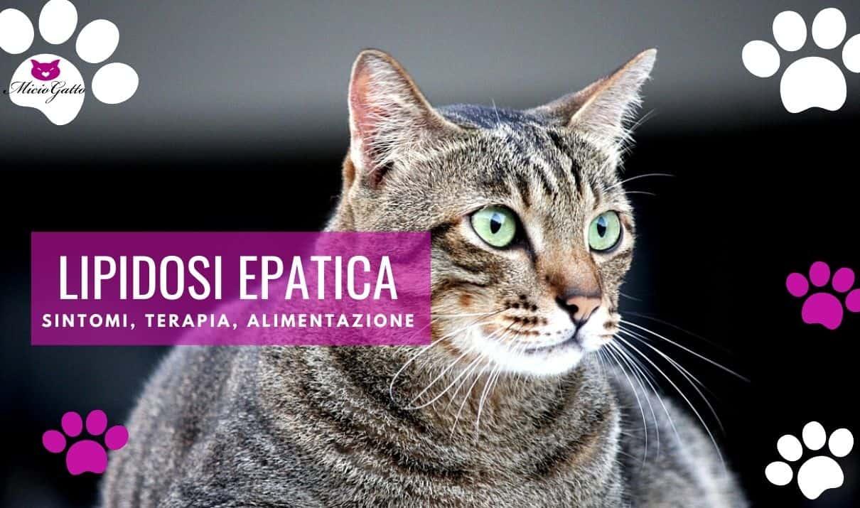lipidosi epatica gatto cura terapia sintomi alimentazione