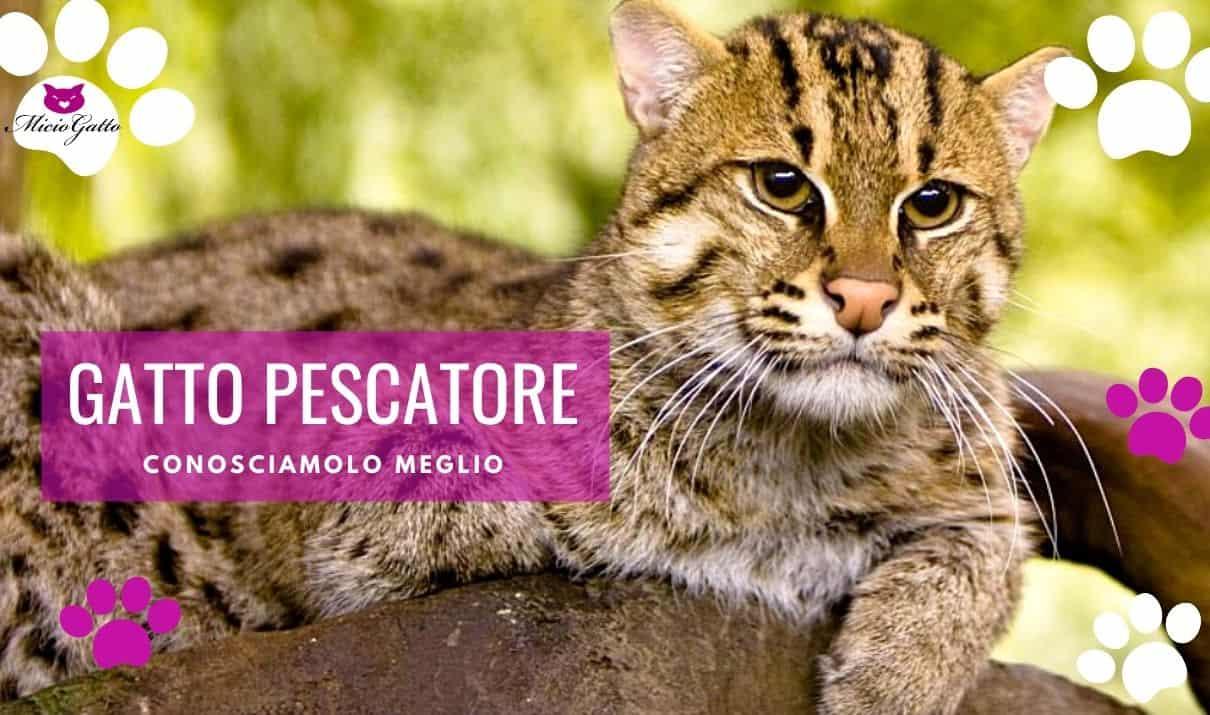 gatto pescatore gatto viverrino habitat caratteristiche