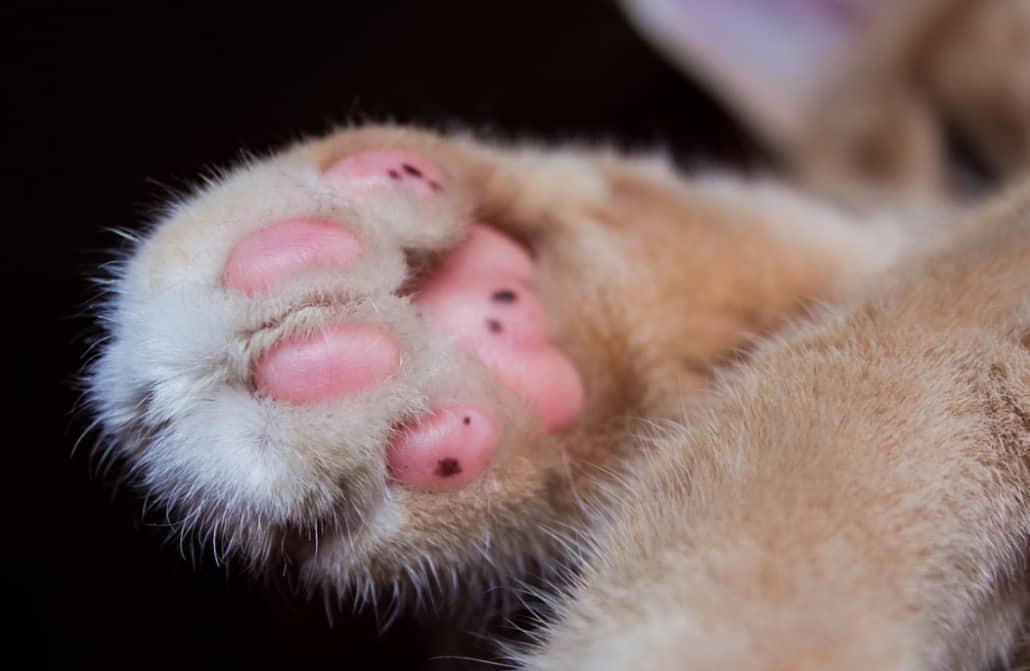 zampine gatto