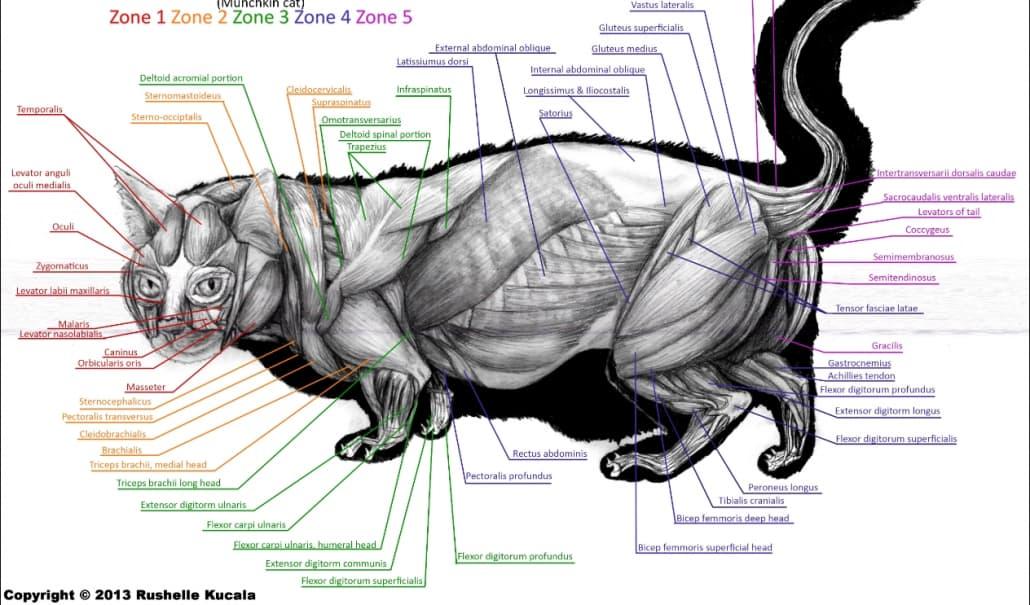 coda gatto anatomia