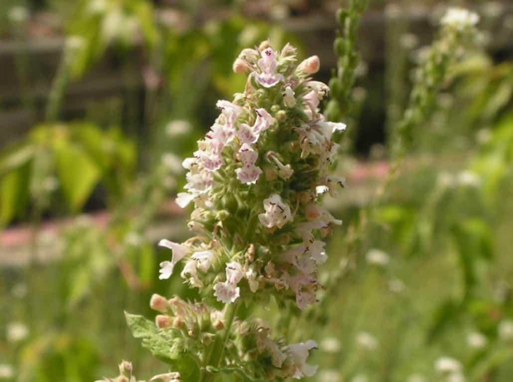Nepeta cataria fiori