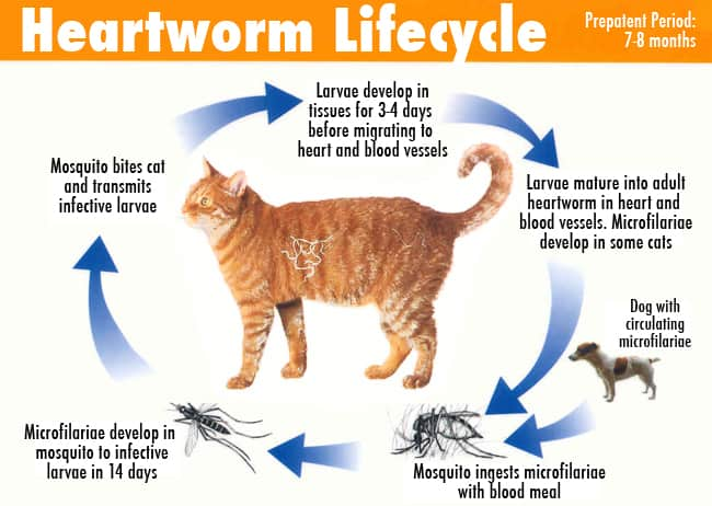 Filaria gatto ciclo vitale