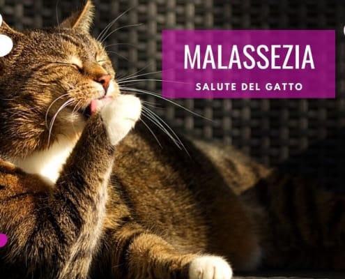 malassezia gatto cura sintomi cause dermatite